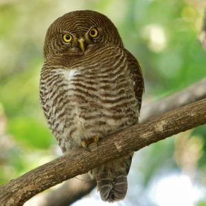 Asian-barred Owlet