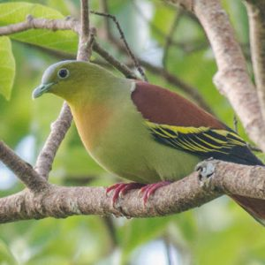 Asky headed green pigeon